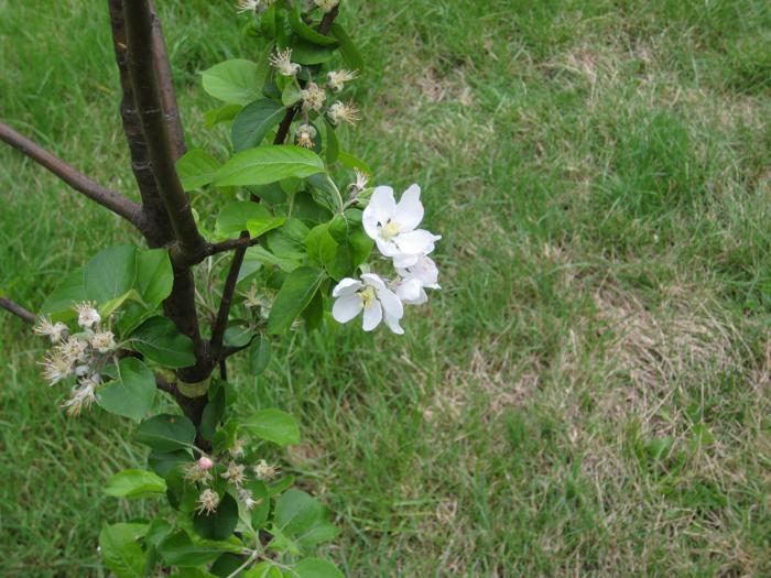 haystack-appleblossom